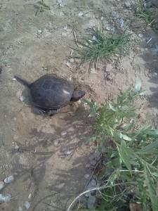 Черепаха на ахтубе